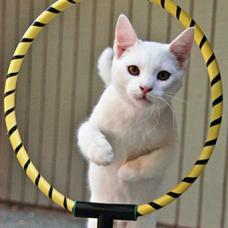 Дрессировка кошек — процесс, требующий особенного подхода